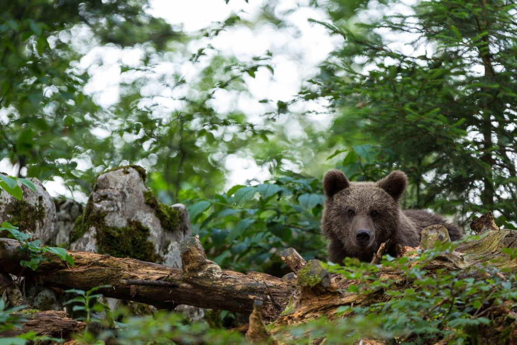 bears in nature slovenia